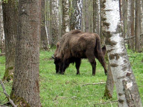 Зубры в Приокско-Террасном заповеднике